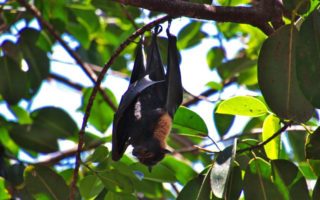 Coronavirus: ¿por qué los murciélagos, considerados la probable fuente de la neumonía de Wuhan, transmiten tantos virus?