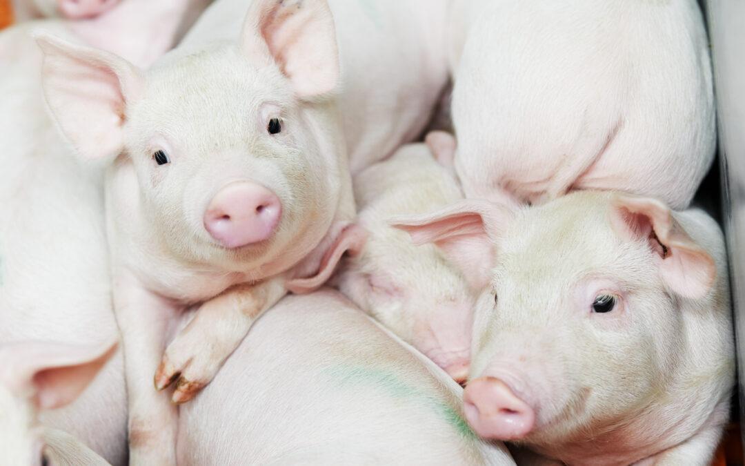 Detectado el primer caso de peste porcina africana en Alemania
