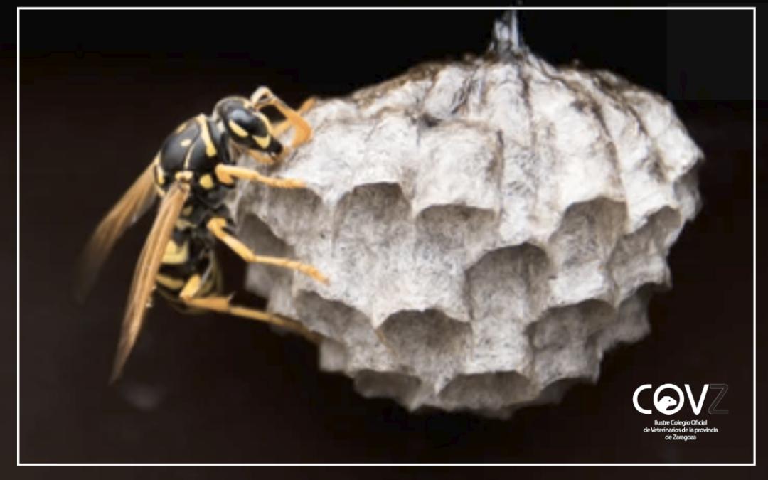 El Gobierno de Aragón difunde nuevo material informativo para diferenciar a la avispa asiática