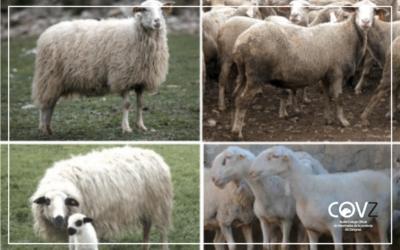 El CITA ha congelado 274 embriones de ovejas de razas autóctonas desde 2014