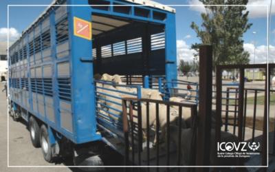 Estudian el riesgo de propagación de bacterias resistentes a través del transporte animal